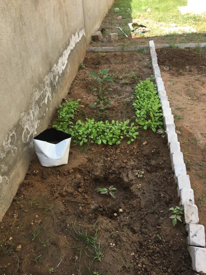 Chiku, Mango, Pomegranates, Hibiscus, Radish, Beetle Leaf& Thulasi!!