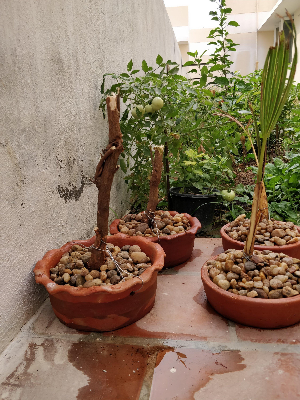 Neem & Palm Bonsai